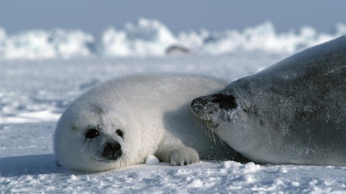 Us Court ruling keeps bearded seals on Endangered Species List