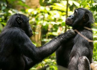 Aging Bonobos Get Farsighted, Just Like Humans