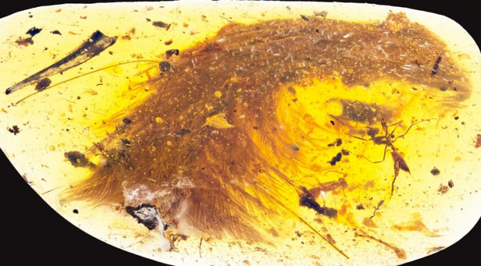 Beautiful' dinosaur tail preserved in amber, with feathers