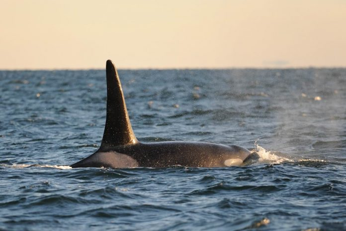 Orcas whale found dead off British Columbia coast, sixth to die this year