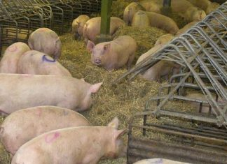 Scientists find worrisome CRE on US swine farm