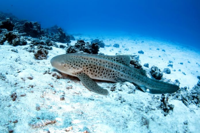 Lone Zebra Shark Gives Birth Without Male