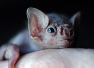 Vampire Bats Are Now Starting To Bite Humans, According to Study