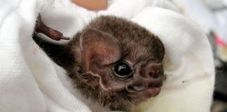 Vampire Bats Found Drinking Human Blood, says new research