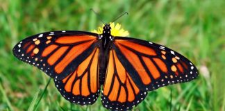 Monarch butterfly numbers drop by 27 percent in Mexico, says new research