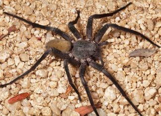 Baja Mexico Cave Spider Is Ridiculous