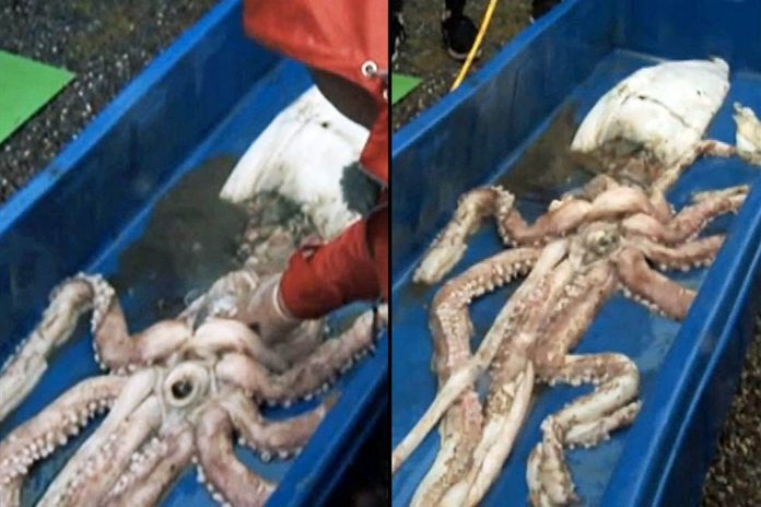 Giant Squid Caught in Irish waters (Photo)