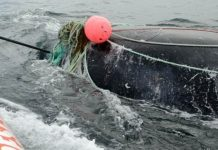 Whale kills man after he helps free it