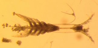 'Monster' plankton discovered in Arctic Ocean