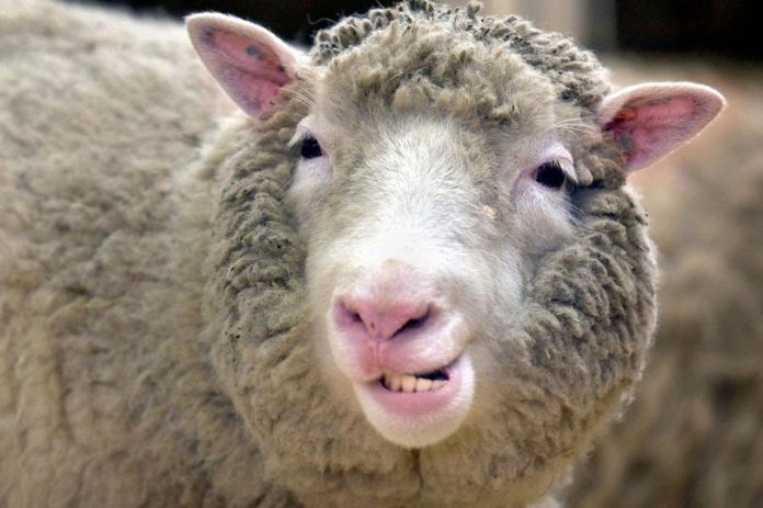 Dolly The Sheep Didn't Have Arthritis After All, says new research