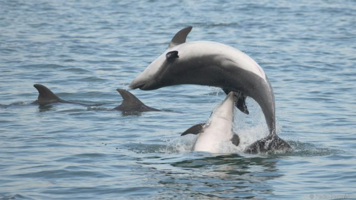 Male Dolphins Charm Females With 'Bouquets' Too, Says New Study