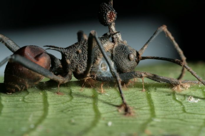 'Zombie fungus' controls ant muscles, researchers say