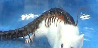 Giant centipedes eat animals 15 times their size