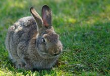Mid-island rabbit owners warned about deadly virus, Report