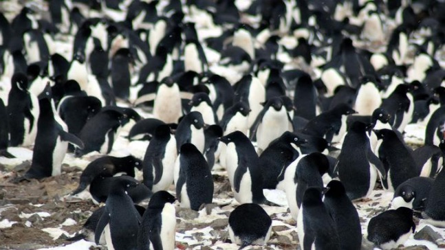 Incredible drone pics reveal MILLIONS of penguins in Antarctic 'mega-colonies'