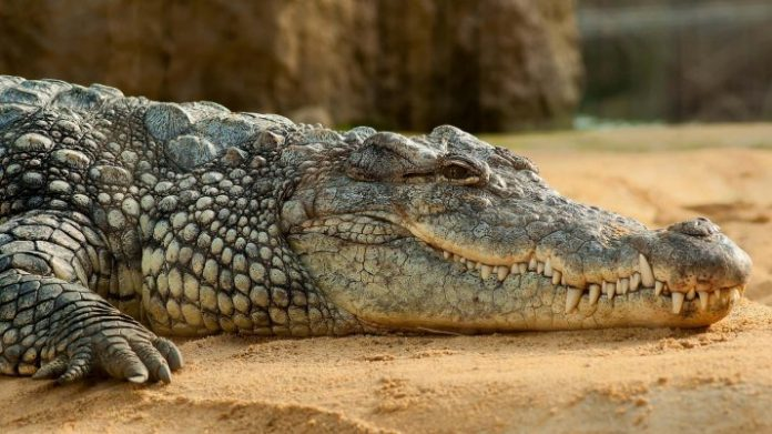 Researchers Play Classical Music to a Crocodile to Understand Its Brain