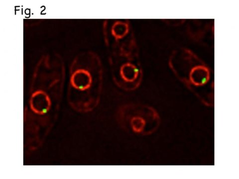 Study key mechanism of dna replication discovered details researchers malvernweather Gallery
