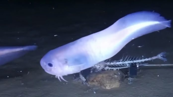 Atacama snailfish: This Squishy Deep-Sea Fish 'Melts'