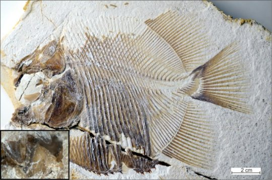 Jurassic-era piranha is world's earliest flesh-eating fish