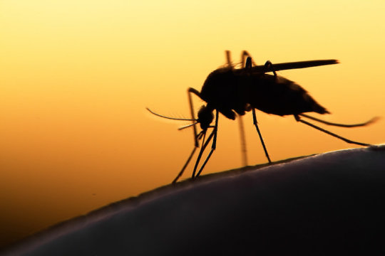 GM fungus causes 'crash' in mosquito populations, study suggests