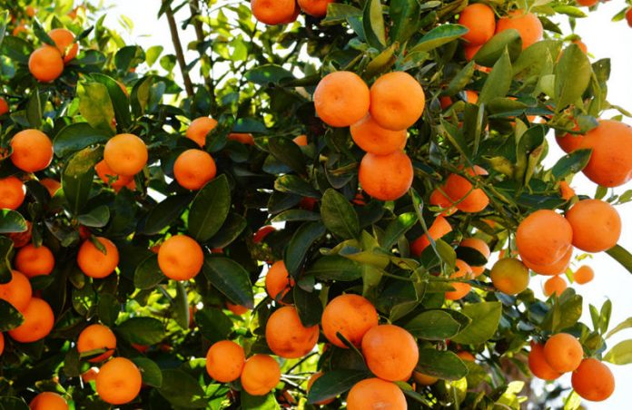 Hurricane Matthew: Florida Citrus Industry is a Group of Fighters