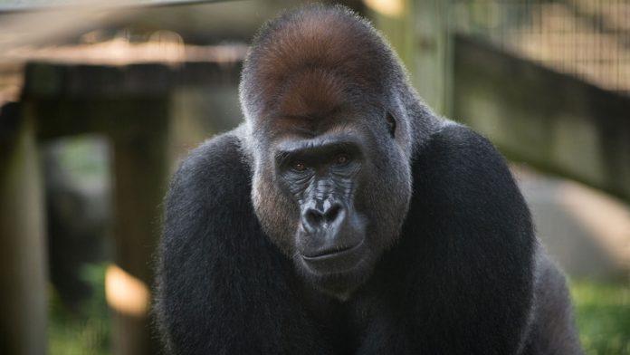 Gorilla euthanized at Columbus Zoo, Report
