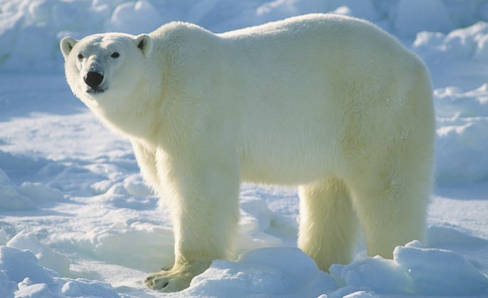Polar bear population to decline by a third by 2050, researchers say