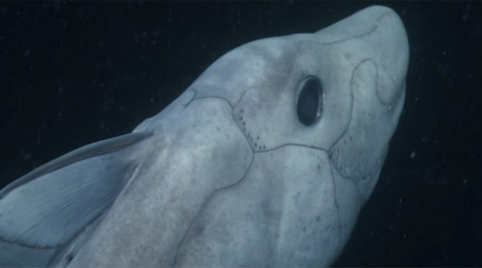 Rare Ghost Shark captured on camera for the first time (Watch)