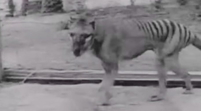 Scientists Launch Search for Tasmanian Tigers (Thylacines) in North Queensland