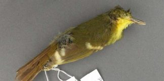 Rare songbird may never have existed , Researchers Say