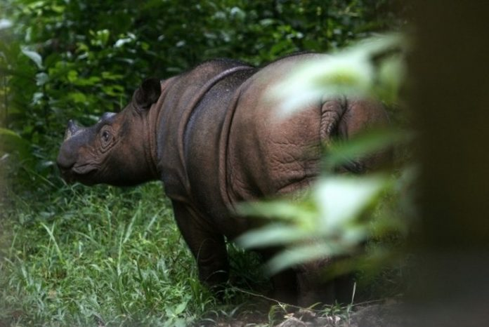The Sumatran rhinoceros is about to go extinct, researchers say