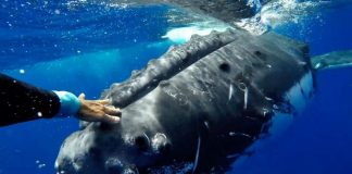 Humpback whale 'saves' marine biologist from tiger shark (Video)