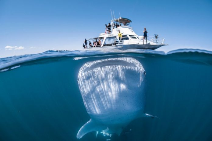 Incredible photo captures moment huge whale shark loomed underneath boat