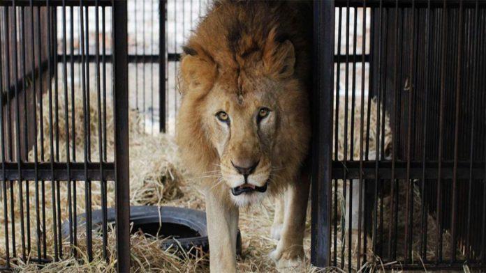 Lion Cubs Poisoned at Queen Elizabeth National Park