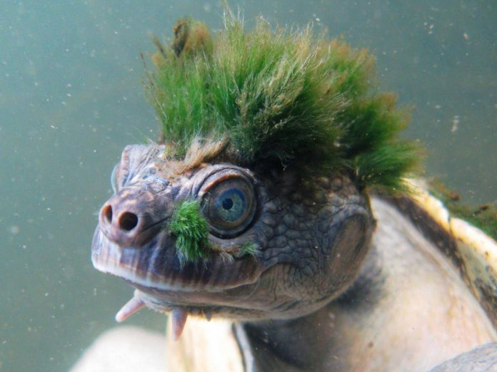 Mary River turtle in Australia faces extinction, Says New Study