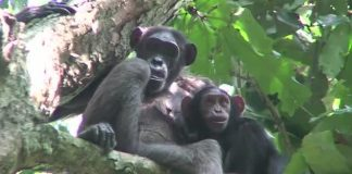 Study: Gorilla poop survey offers insights into evolution of humans' microbiome