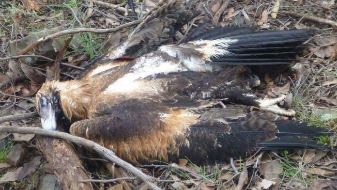Australia: 137 poisoned eagles, Victoria officials say
