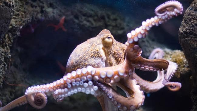 Octopuses on ecstasy: The party drug leads to eight-armed hugs, Study