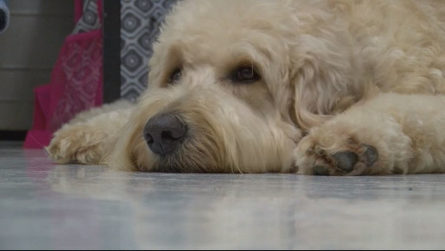 Therapy dogs can spread superbugs to kids, says new research
