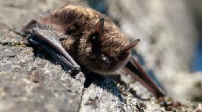 Report: Bat found in Saanich school yard tests positive for rabies