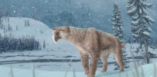 Research: Canada's first sabre-toothed cat fossil found in Medicine Hat