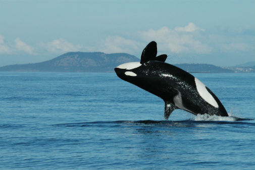 Study: Killer whale grandmothers boost survival of calves