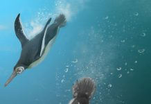 Study: When penguins ruled after dinosaurs died