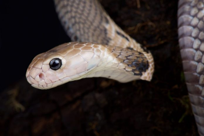 Coronavirus could have jumped to humans from snakes, Report
