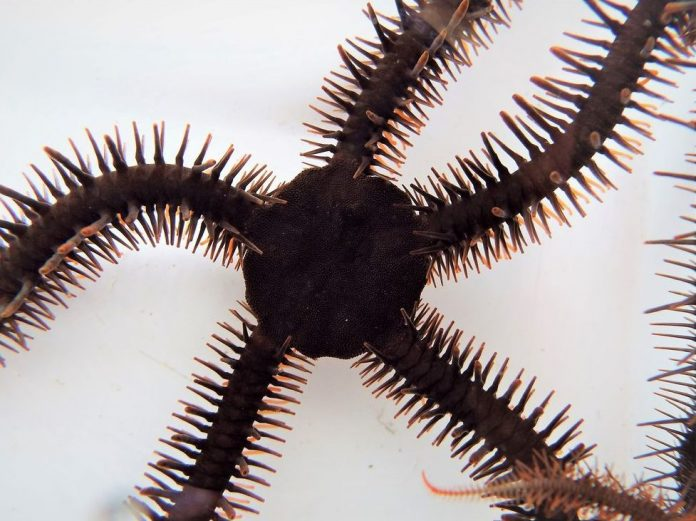 Report: Color-changing brittle stars can see, even without eyes