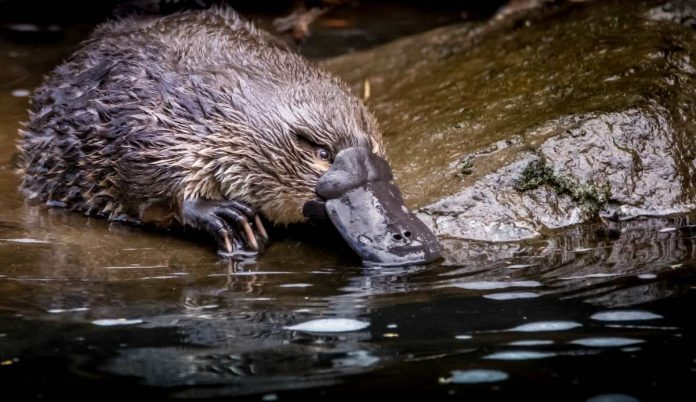 Report: Platypus on brink of extinction