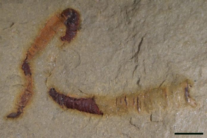 Researchers find oldest-known fossilized digestive tract at 550