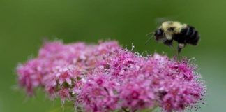 Bumblebees are going extinct because of climate change (research)