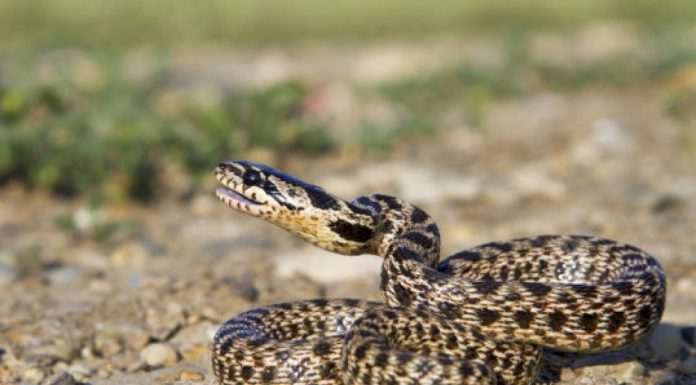 Disappearing snakes and the biodiversity crisis