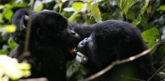 Lightning strike kills four rare mountain gorillas, including baby